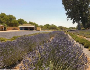 Lavander fields north of Paso Robles