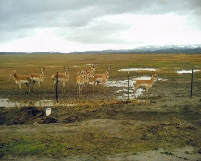 Pronghorn in Central California