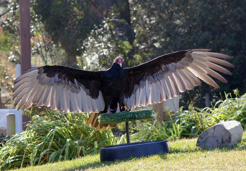 Turkey vulture with a six foot wingspan
