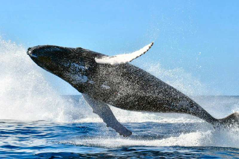 A humpback whale jumping and completely out of the water