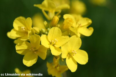 A close-up shot of mustard flowers