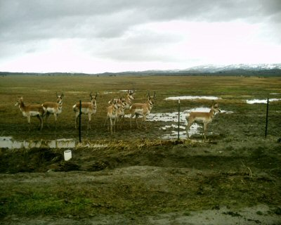 Pronghorn antelope on the Jack Ranch outside of Parkfield amid snow and rain