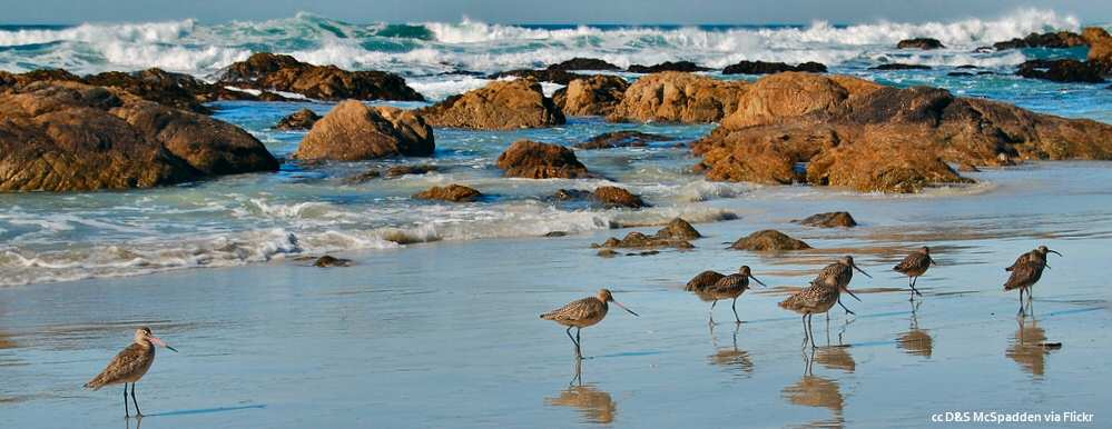 Birds at the surfline - Asilomar Beach