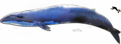 Size comparison of a blue whale, a dolphin and a human diver