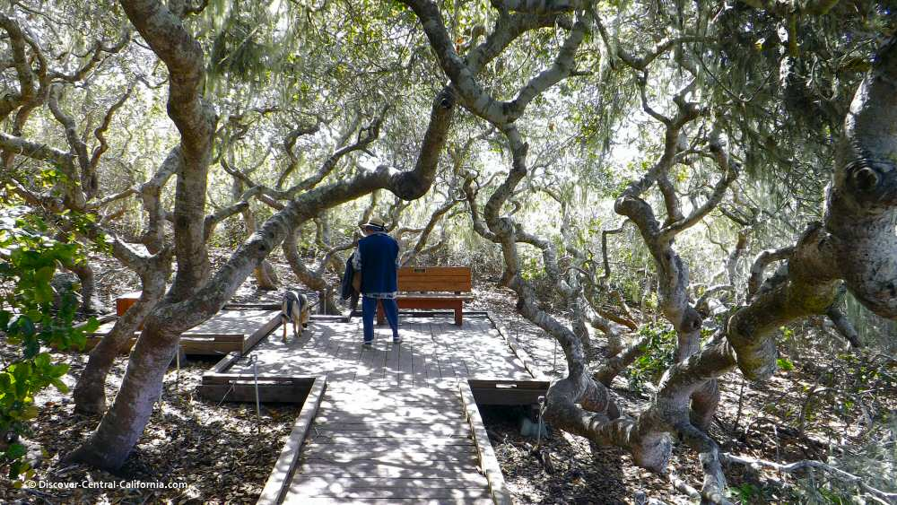 Inside a thicket of small oaks at the Los Osos Elfin Forest