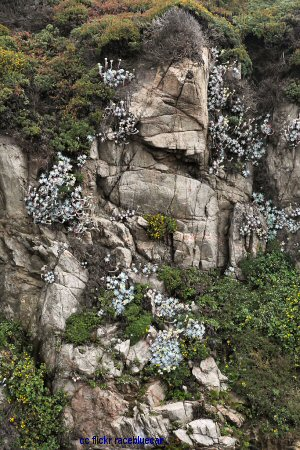 Garrapata beach wildflowers on a rockface