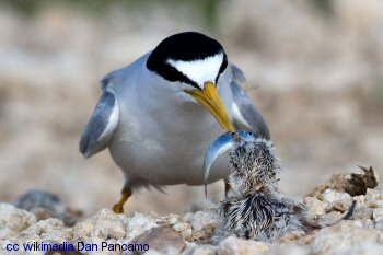 California Least Tern feeding young