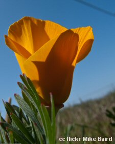 California poppy at Montana de Oro State Park