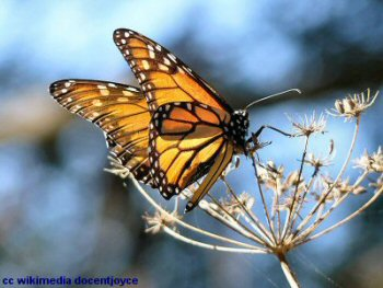 Monarch butterfly at Pismo Beach