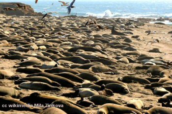 Elephant seal colony at San Simeon