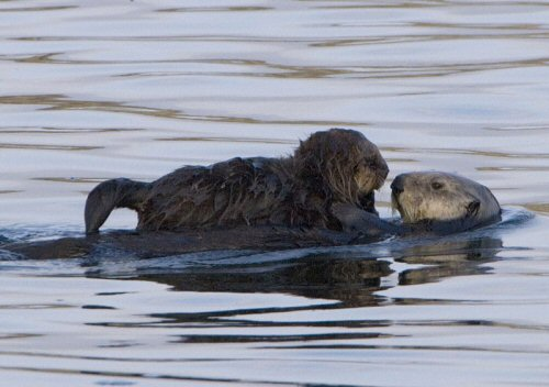 Sea Otter with pup in Morro Bay