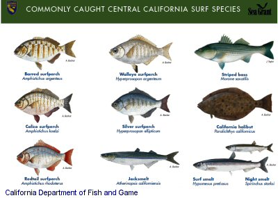 Spooled kamran walsh 39 s guide to fishing shore fishing in for Surf fishing southern california