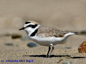 The Western Snowy Plover