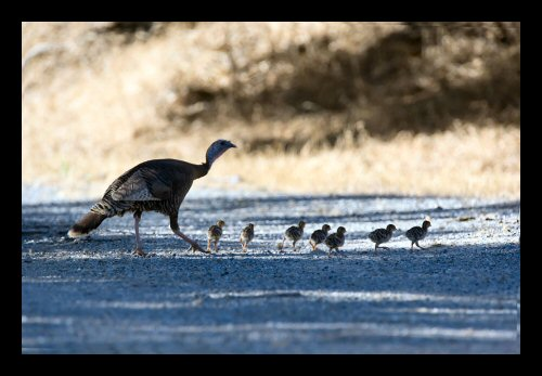 Wild turkey hen and chicks crossing the road