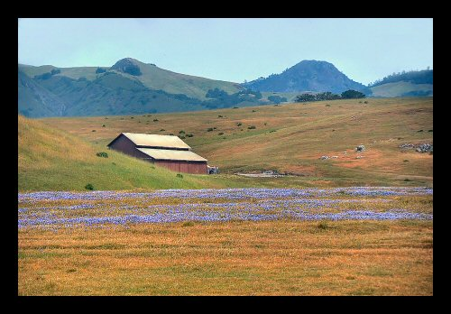Barn and Lupines near San Simeon
