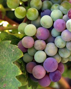 Late summer wine grapes