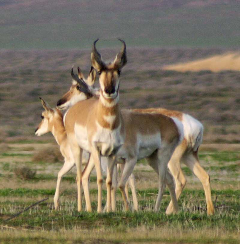Pronghorn Antelope can be seen often here and in the surrounding countryside
