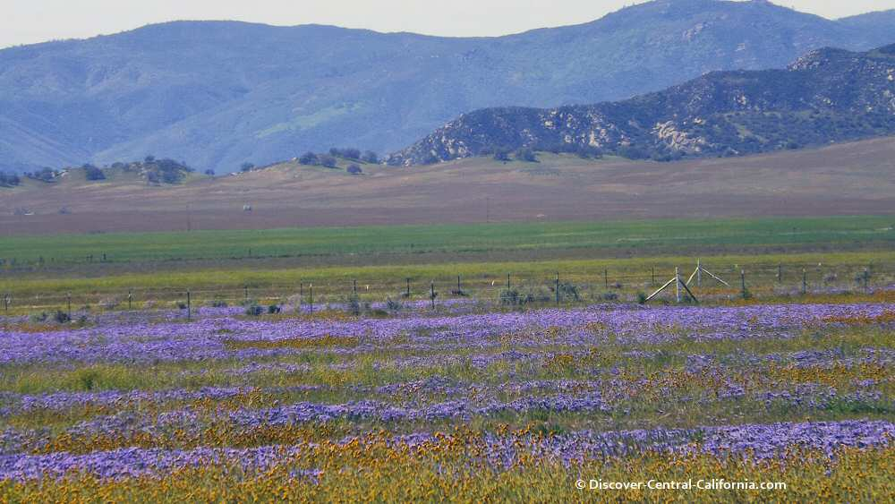 Purple wildflowers in the Carrizo Plain NM
