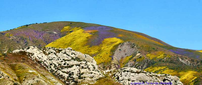 Beautiful wildflowers on the hillsides surrounding the Carrizo Plains