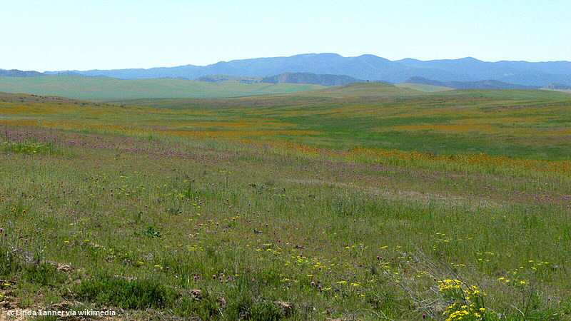 Wildflowers on the floor of the Carrizo Plains