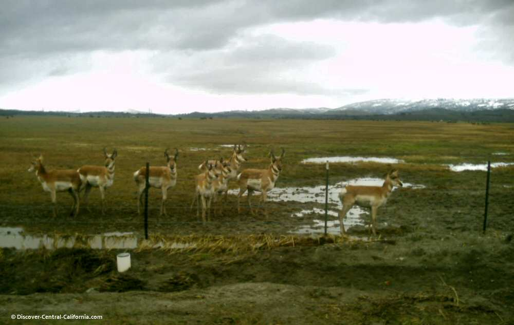 Pronghorn in winter