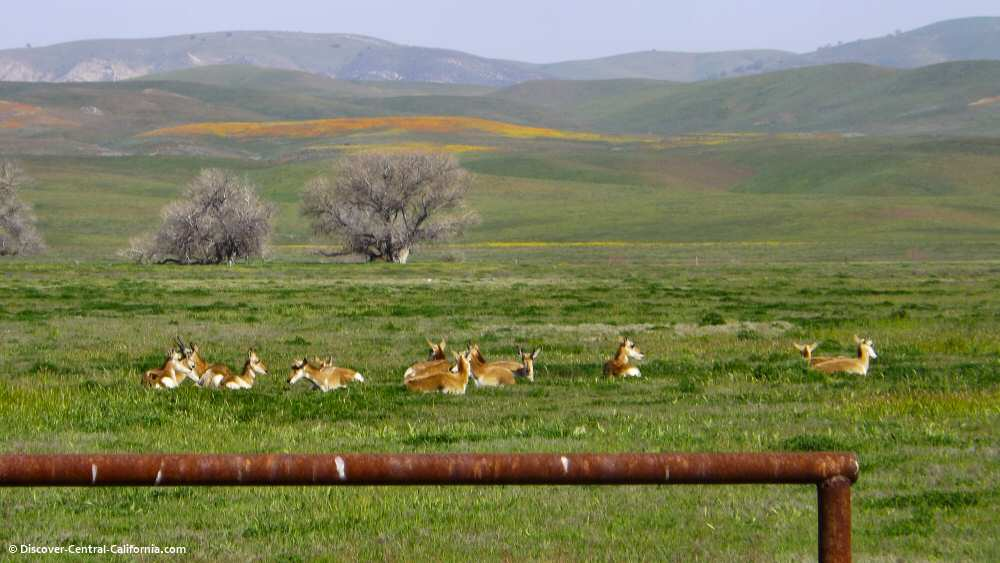 Antelope and poppies on Cholame Road