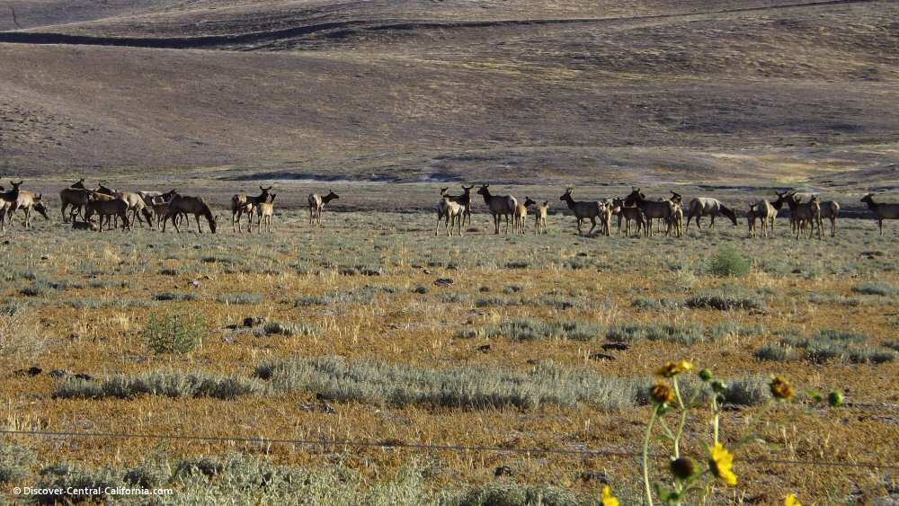 Tule elk on the Jack Ranch