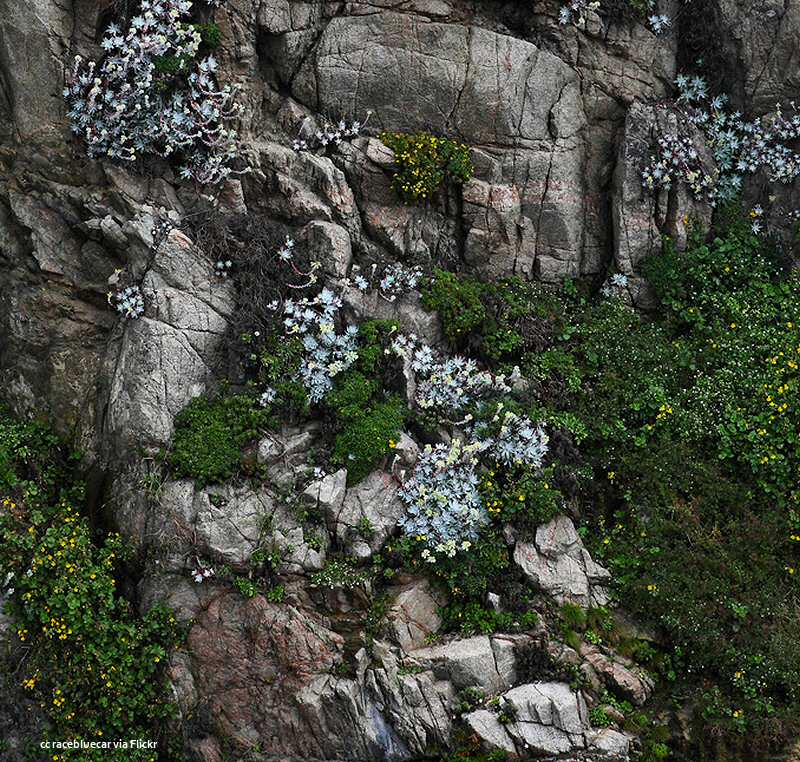 Wildflowers on a rockface at Garrapata State Beach