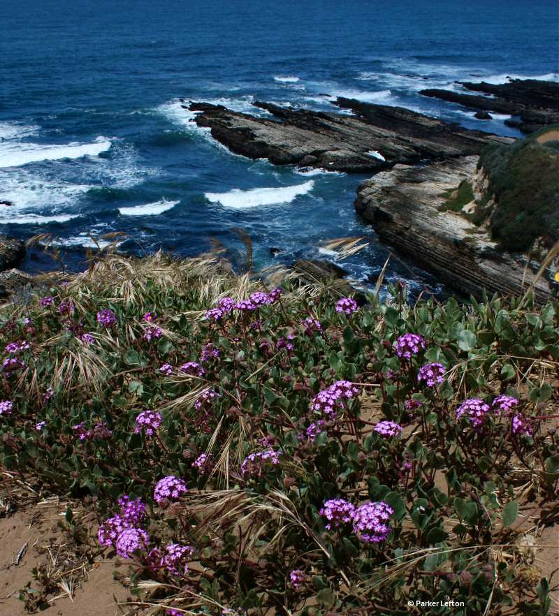 Purple flowers along the bluff at Montana de Oro SP