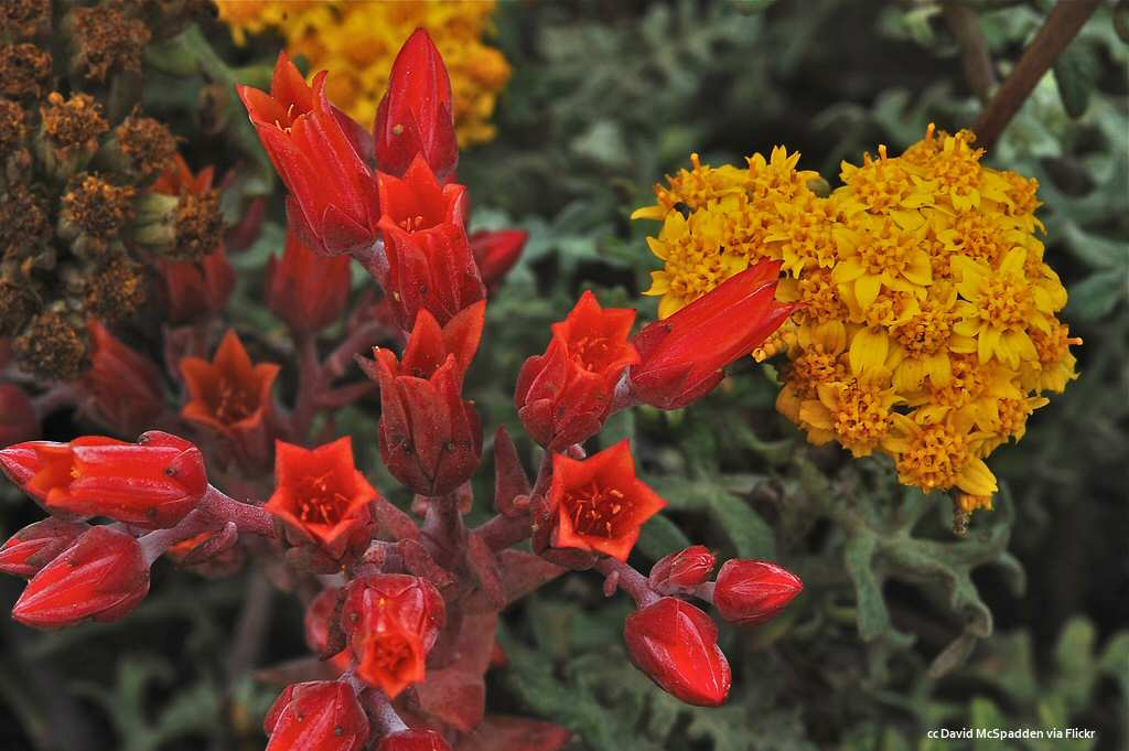 Stunning red and yellow flowers at Moonstone Beach