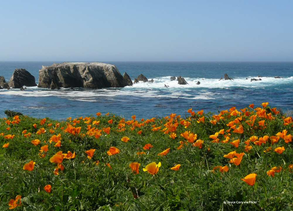 Poppies by the seashore