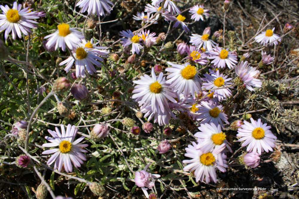 Closeup of daisies at Point Lobos