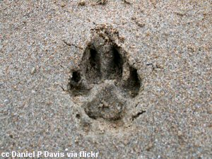 Dogprint in beach sand - everyone loves the beach!