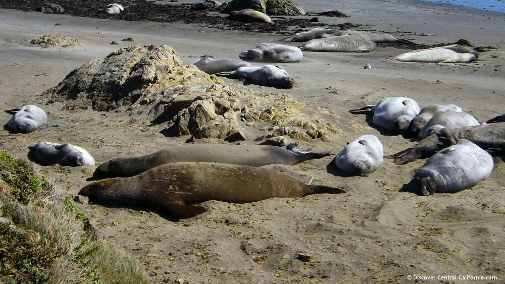 Females and juveniles resting on the beach