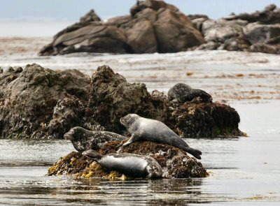 Harbor seals at Estero Bluffs