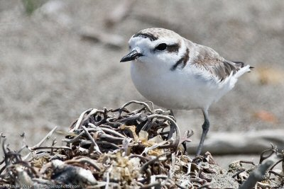 Snowy plover at Estero State Park