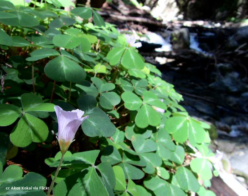 Sorrel along the trail through the redwoods at Limekiln State Park