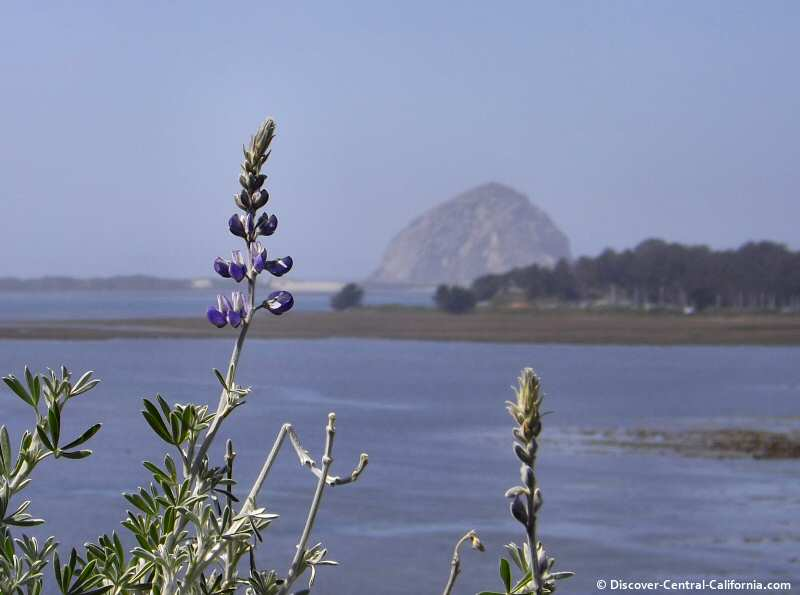 Elfin Forest lupine with Morro Rock in the distance