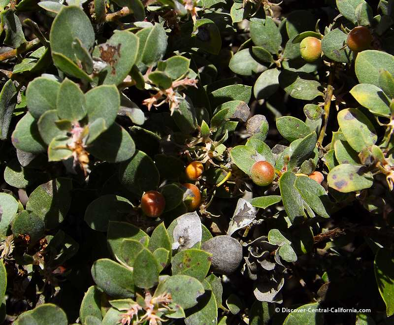Manzanita berries at the Los Osos Elfin Forest on the Morro Bay Estuary