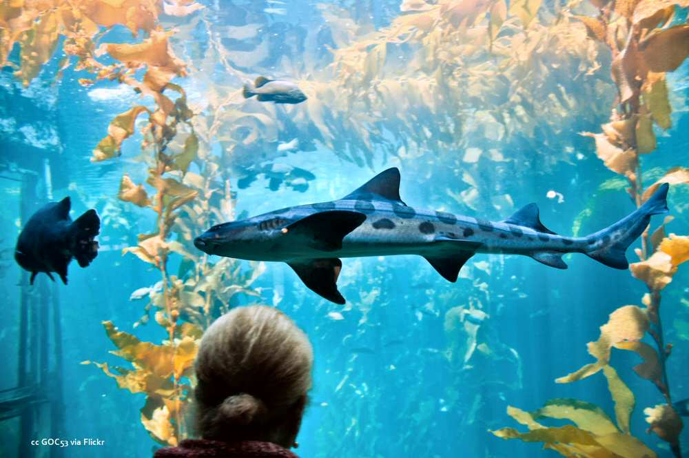 Shark in the kelp forest exhibit