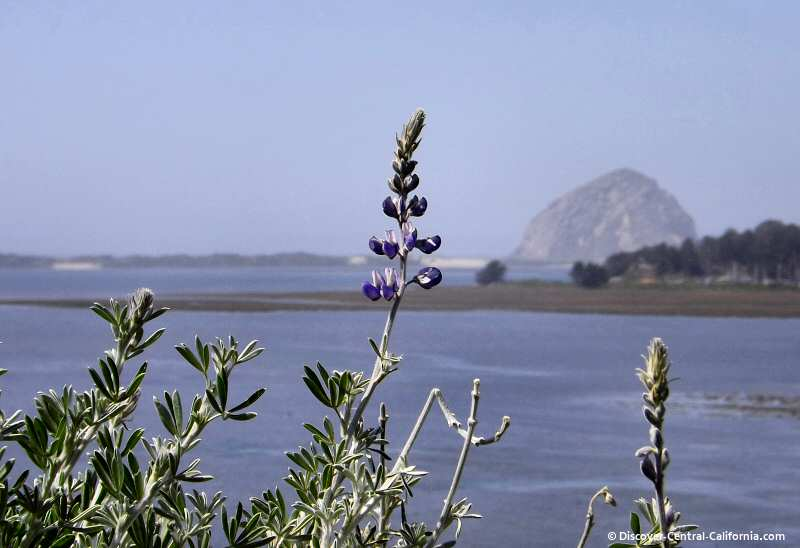 A view of Morro Rock from Lupin Point in the Elfin Forest, Los Osos