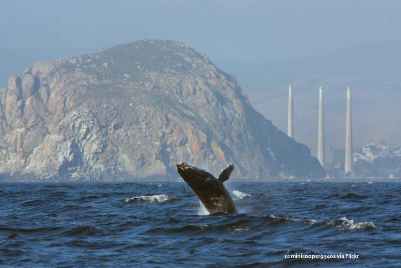 An offshore view of Morro Rock with an humpback whale breaching
