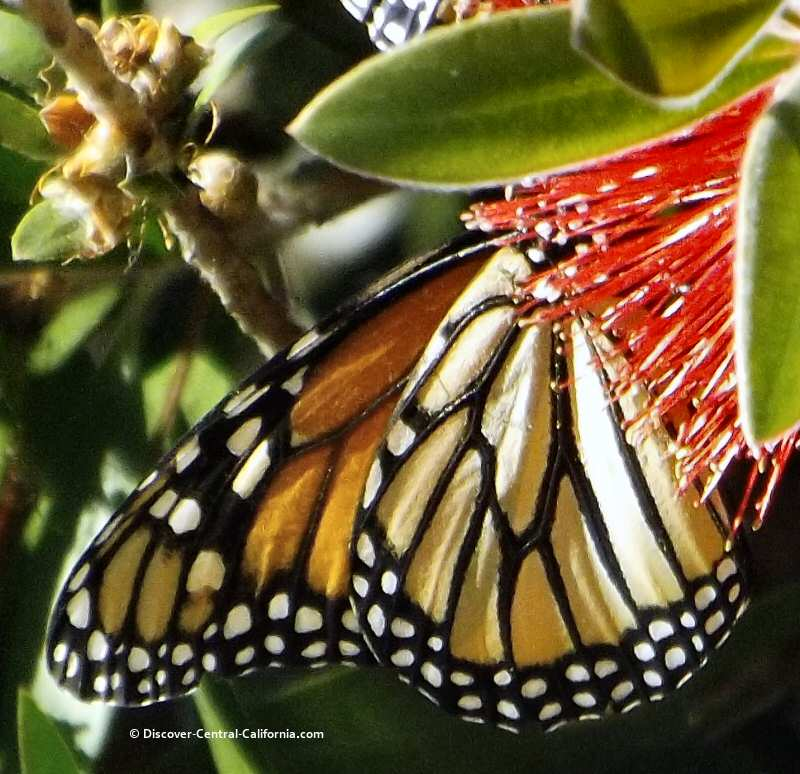 Closeup of a monarch's wing