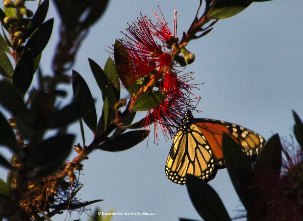 A lone monarch on a bottlebrush tree