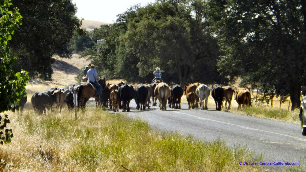 Parkfield cattle drive along Vineyard Canyon Road