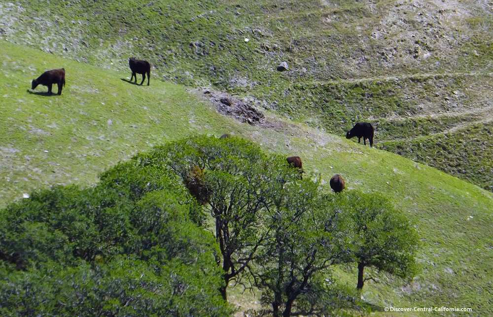 Cattle grazing along Parkfield Grade