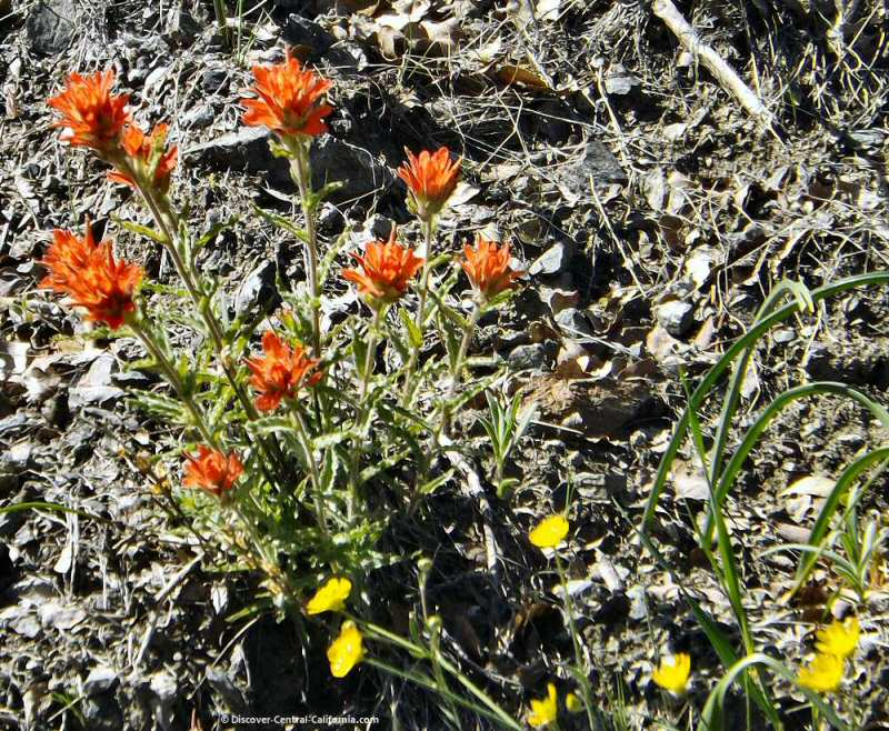 Indian paintbrush and yellow composites