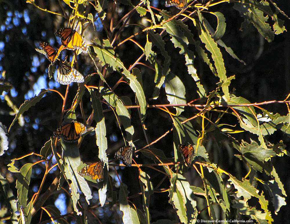 A cluster of monarch on a eucalyptus