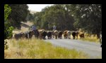 Central California cattle drive