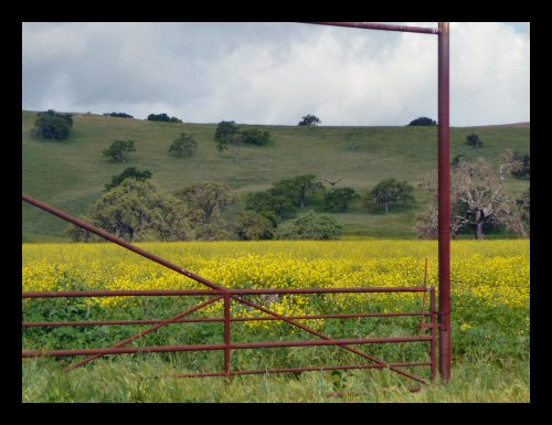 A field of mustard framed by a ranch gate